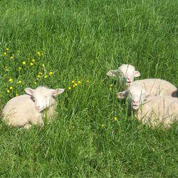 Lambs at Kidwell Farm